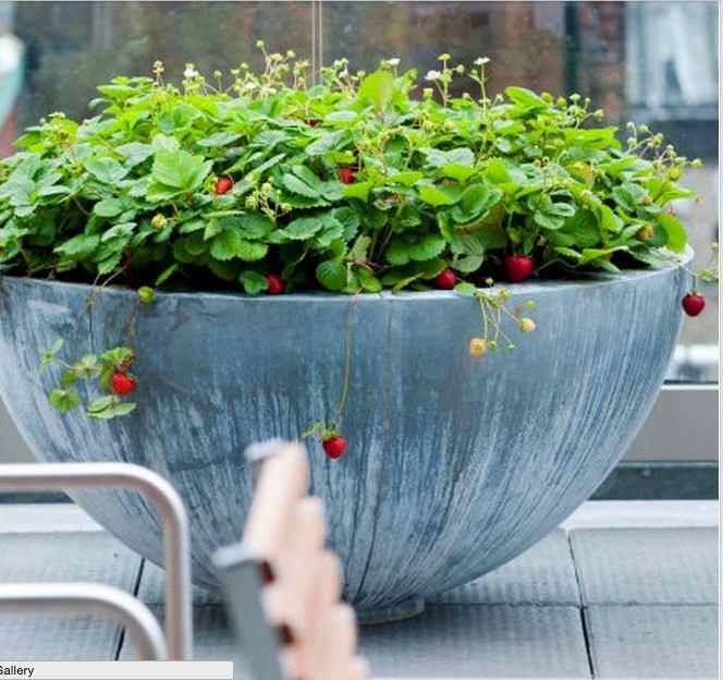 Как вырастить клубнику на балконе:идеи и советы. обсуждение .
