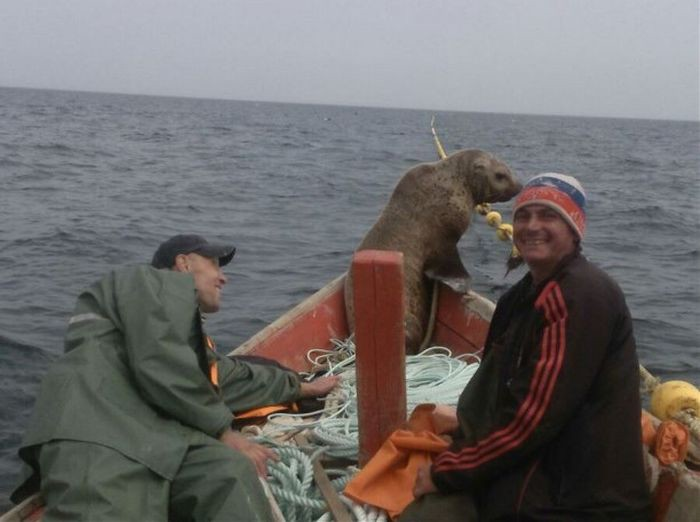 Наглый попутчик Охотское море, морской котик, рыбаки