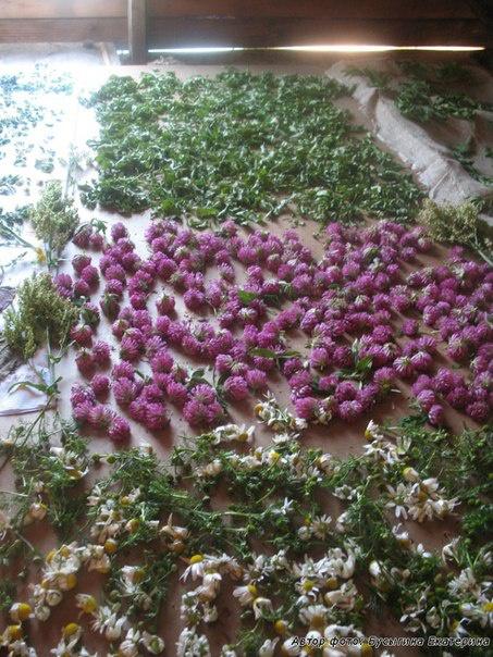 Блог им. Tatulie: травы для чая