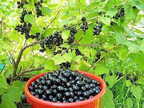 Уход за смородиной и малиной после плодоношения