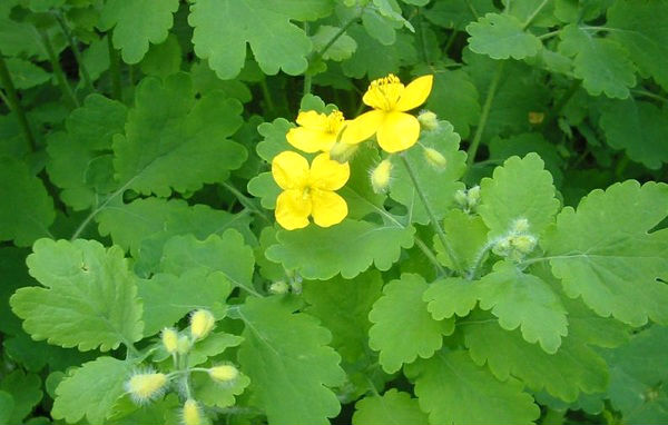 Лечебные свойства травы чистотела