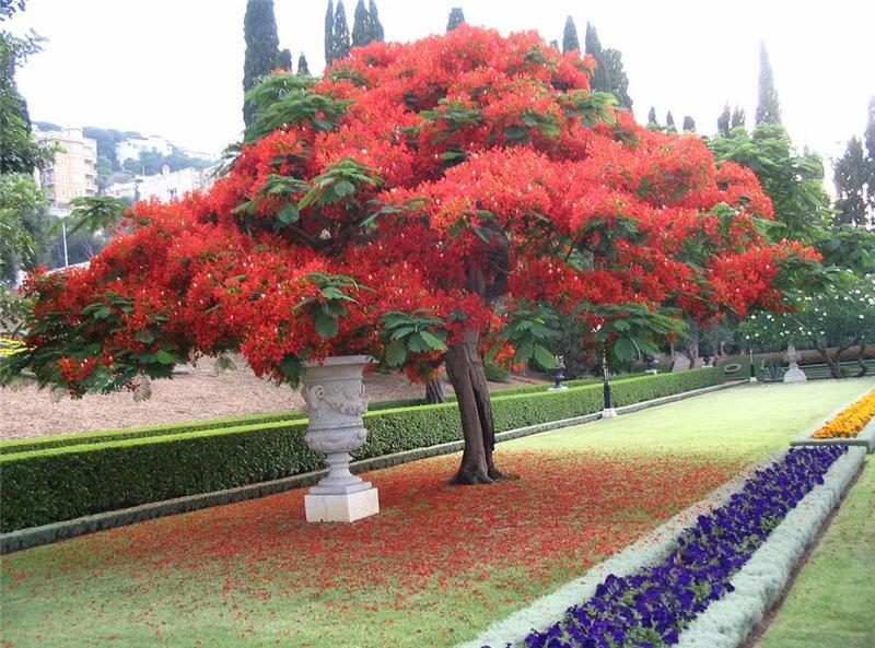 Делоникс королевский - огненное дерево