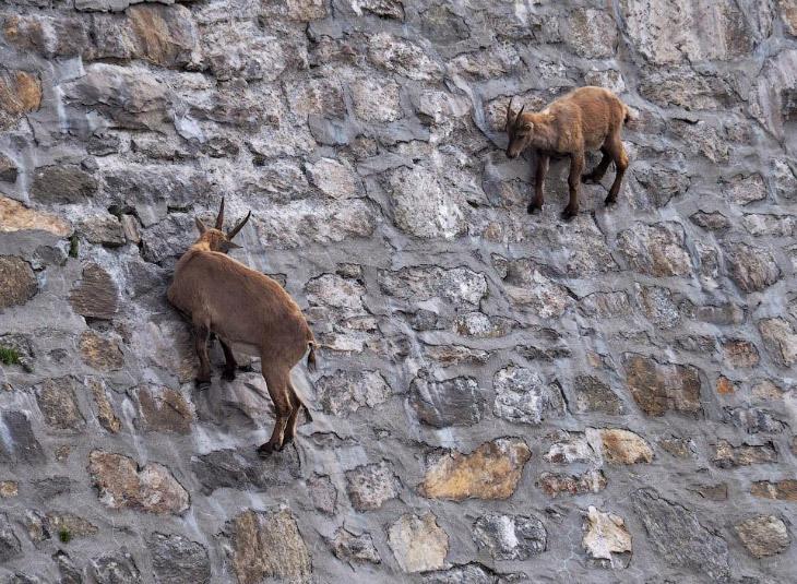 Итальянские козы, которые плевали на гравитацию