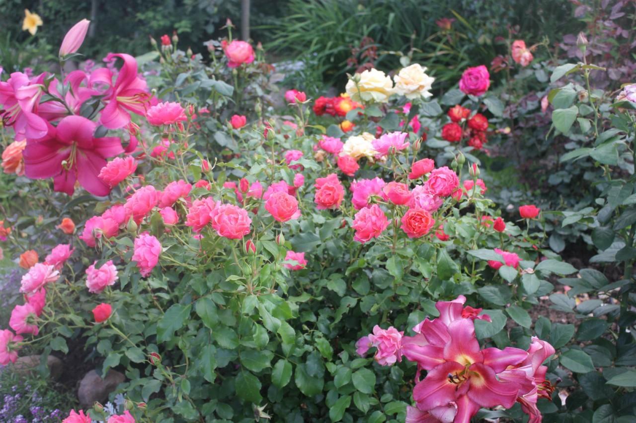 Сажать вместе с розами