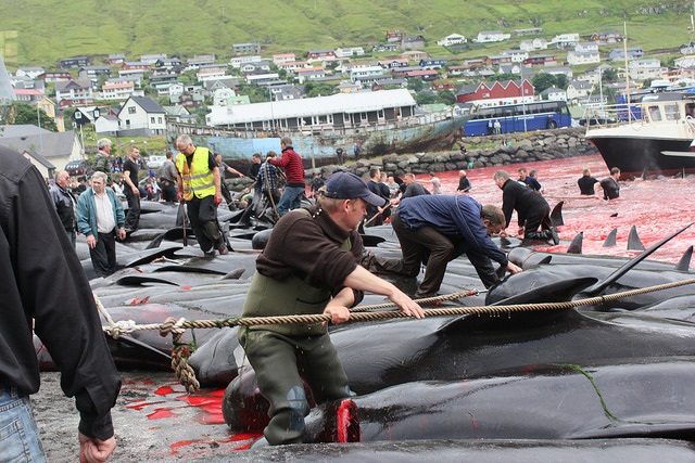 Каждый год они зверски убивают сотни китов. Не у каждого хватит духа посмотреть на эти фотографии
