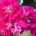 """Роза """"Super Excelsa"""" цветок"""