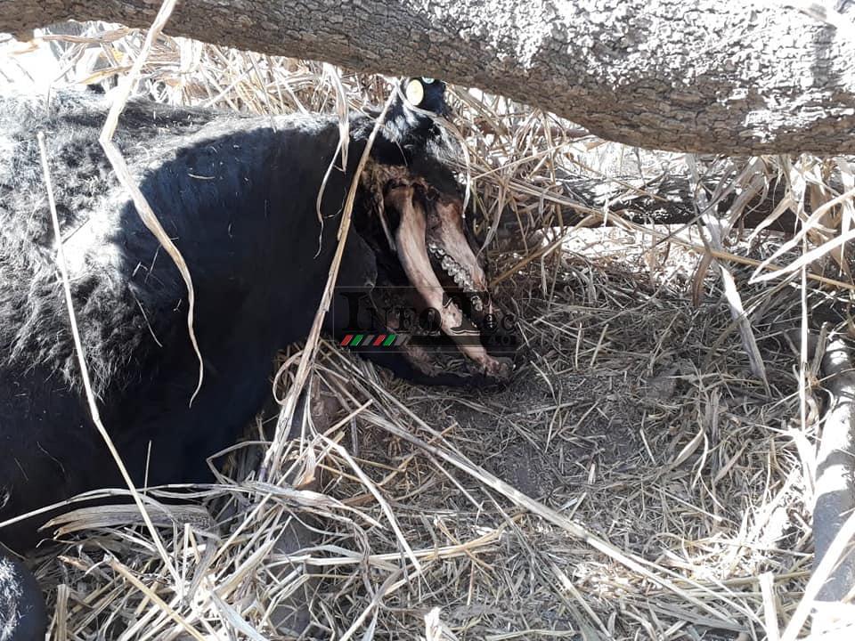 Вырезали половину головы: Новый случай загадочного увечья коровы в Аргентине