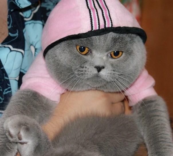 фото котят британских кошек