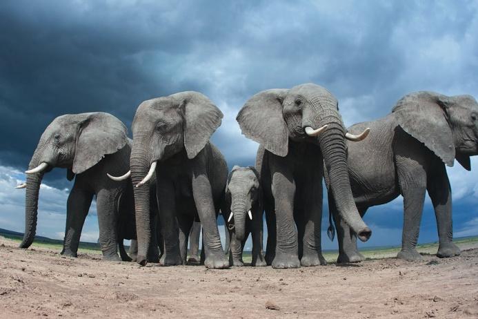 Слонихи объединяются в группы, чтобы заботиться о потомстве: мамы, сестры, дочери и даже бабушки поддерживают и помогают друг другу