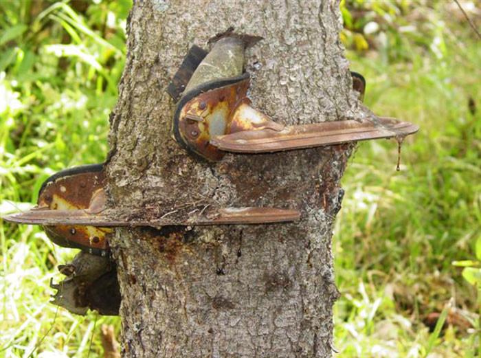 Много лет назад мальчик повесил коньки на дерево дерево, живучесть, жизнь, мир, планета, растительность, фото