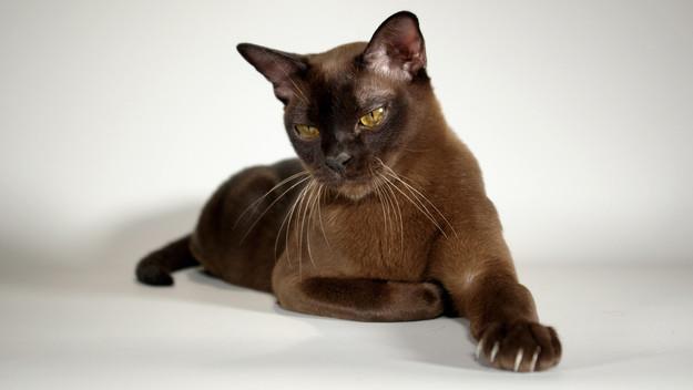 7. Бурманская кошка животные, коты
