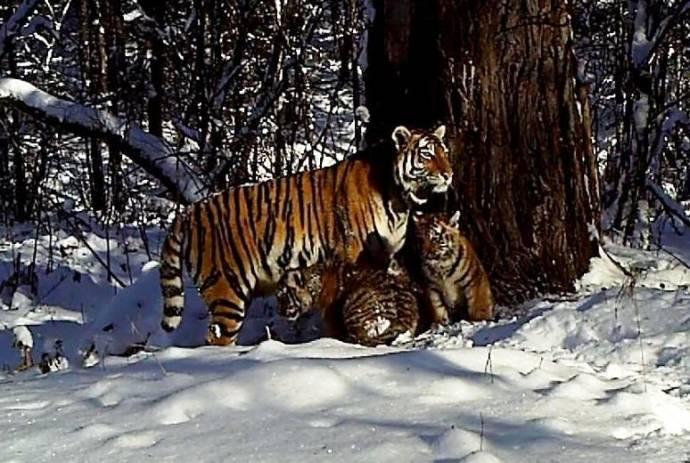 Спасенная людьми и выпущенная затем на волю тигрица Золушка стала мамой двух тигрят