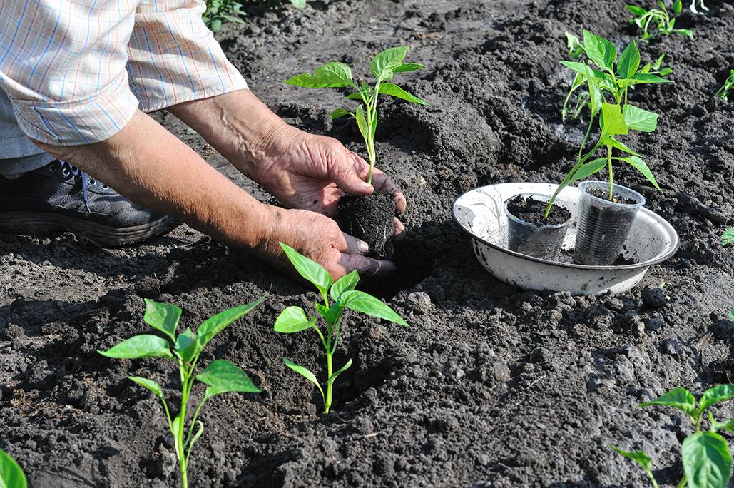 Выращиваю крепкую рассаду перцев по своему способу...
