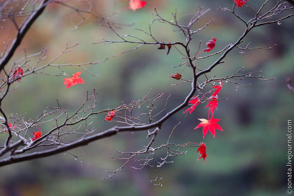 168 Клёны в ботаническом саду Кобе