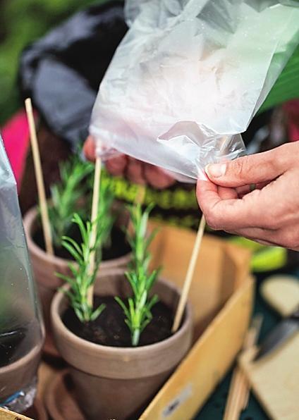 Выращивание розмарина черенками в домашних условиях