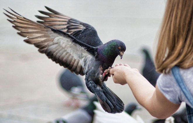 Картинки по запросу кормление голубей