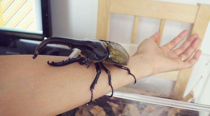 6. Жук-геркулес (Hercules beetle) животные, факты