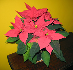 Молочай красивейший, или пуансеттия (Euphorbia pulcherrima)