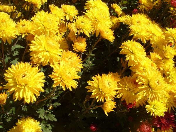 Хризантема сорт Золотой Ключик