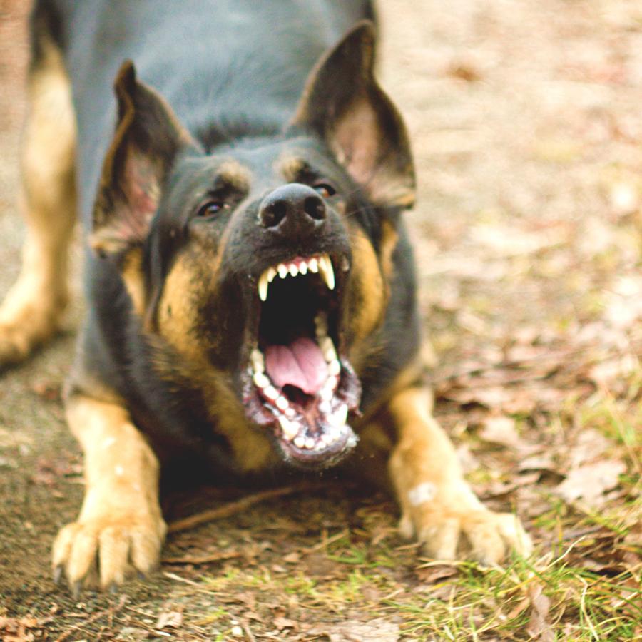 Если на вас напали бродячие собаки - правила безопасности и защита