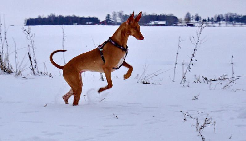 Собака аристократов древняя порода, египет, собака