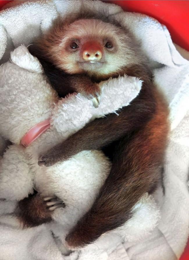 Ленивец обнимает любимую игрушку животные, коты, юмор