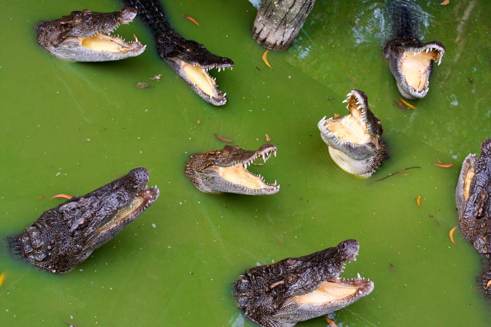 Австралийцам угрожают крокодилы