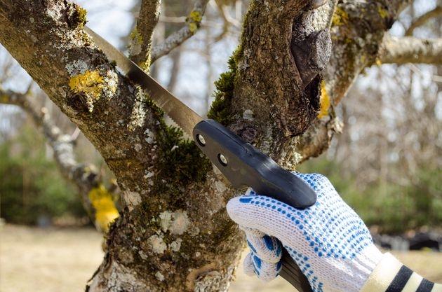 Как обрезать старую плодоносящую яблоню