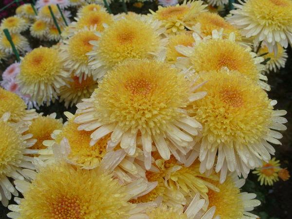 Прекрасен сорт хризантемы Eleanor Yellow