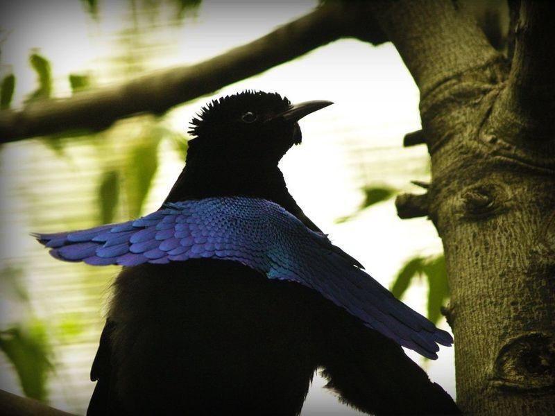 5. Чудная райская птица животные, миф