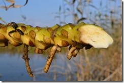 корень кувшинки желтой