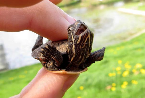 """1. Счастливая """"летающая"""" черепаха ниндзя, питомцы, черепахи"""