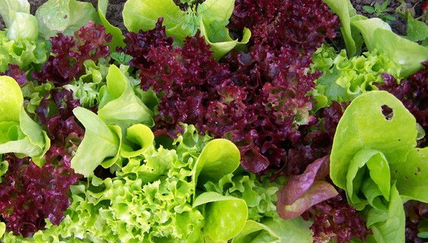 Как надолго сохранить листовой салат свежим