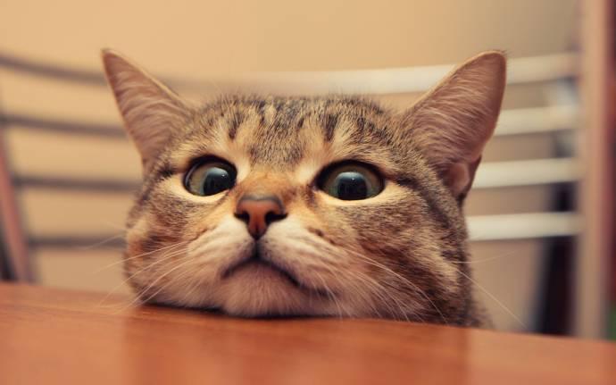 Домашние питомцы: Кошка лазит по столам