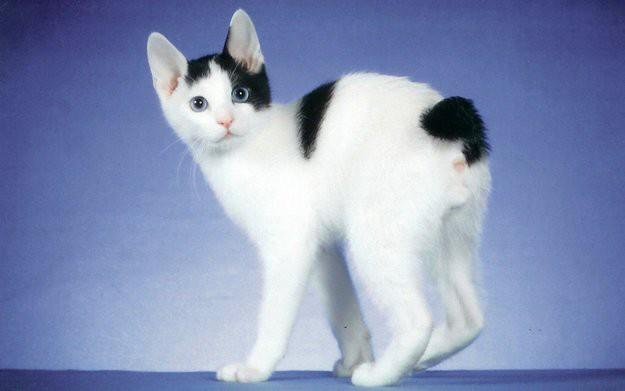 3. Мэнкс животные, коты