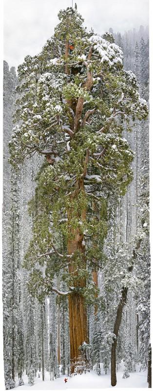 Большой портрет для 3200 летнего дерева от National Geographic