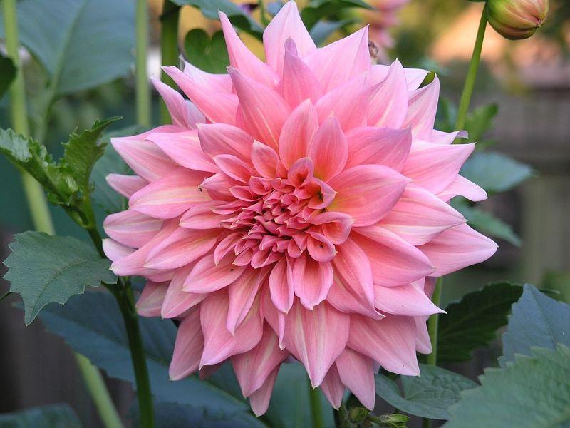 """Георгины. . Полезные советы. . Красивые фото цветов. . """" Николлетто"""
