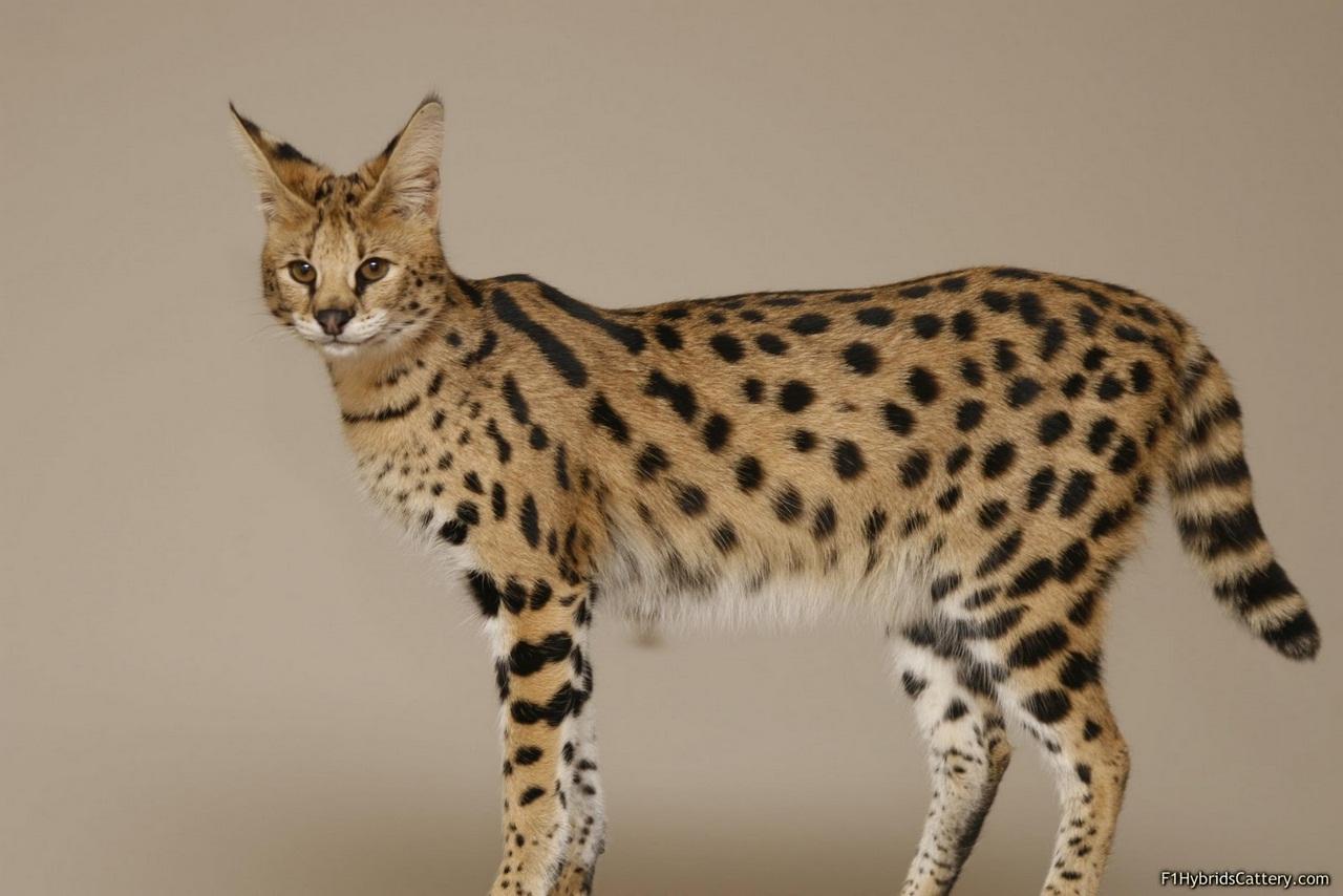 Разоблачаем! Кошки Ашера не существует?