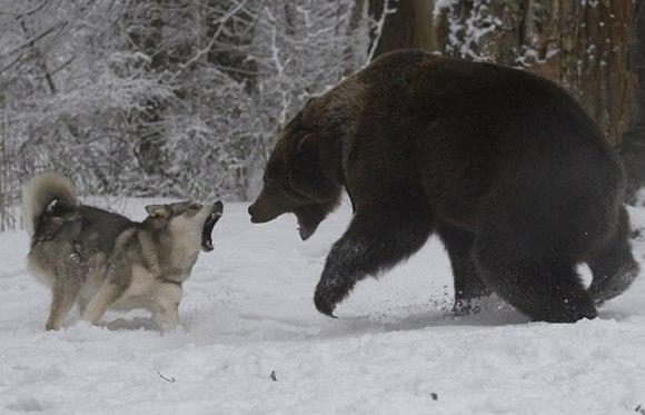 Собака спасла хозяйку от медведя