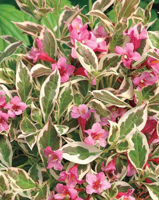 Абелия крупноцветковая  Все о комнатных растениях на