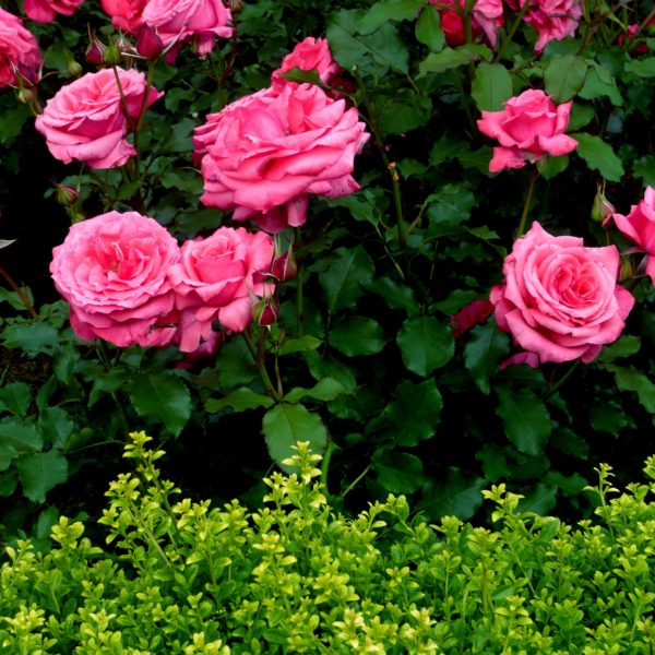 flowers-rose-garden-roses-nature-blooms-photos