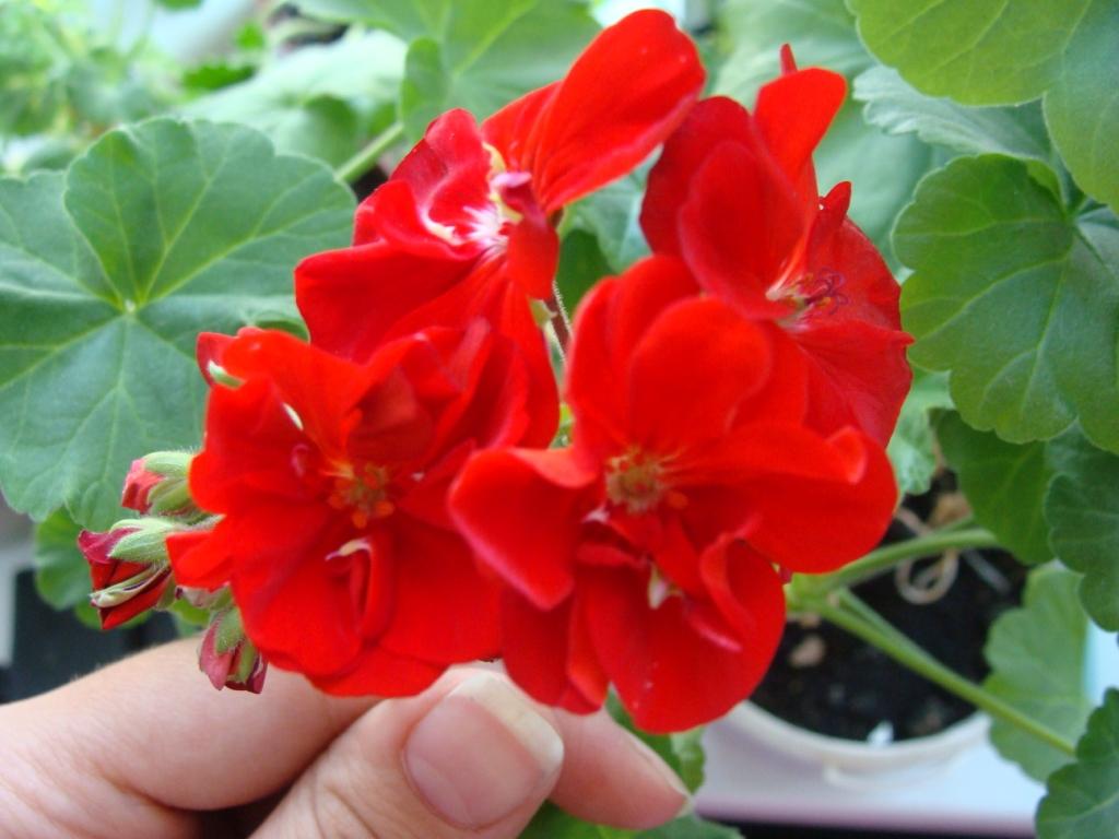 Герань - цветок моего детства