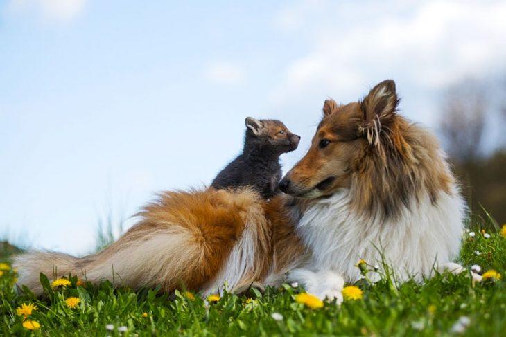Заботливая колли усыновила лисёнка, мать которого погибла в автокатастрофе
