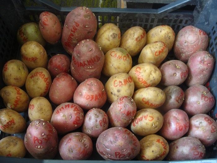Супер-урожайность картофеля – правда или миф?