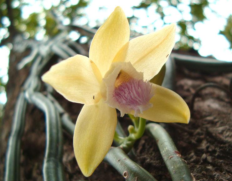 Занимательные истории про экзотические растения. А вы слышали, как мальчик-раб женил ваниль?
