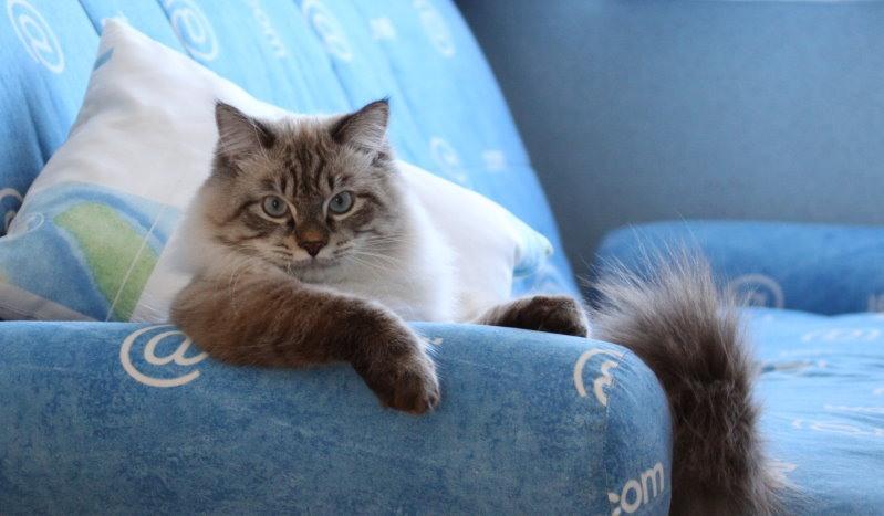 Диван и кошка: материалы для обивок антикоготь