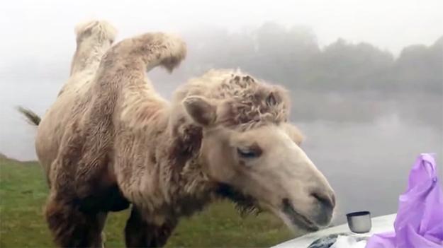 видео тюмень рыбалка верблюд