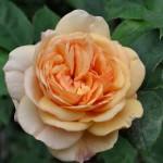 "Роза ""Alchymist"" цветок"