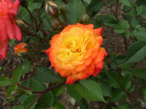 Миниатюрная роза сорт Sunmaid