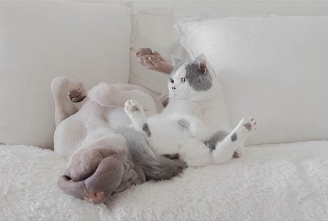 Самый фотогеничный шарпей и его друг котик животные, коты, собаки, шарпей